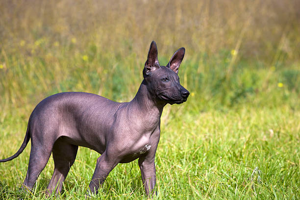xoloitzcuintle puppy - chinesische schopfhunde stock-fotos und bilder