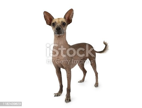 Studio shot of a purebred Xoloitzcuintli dog standing on a white background