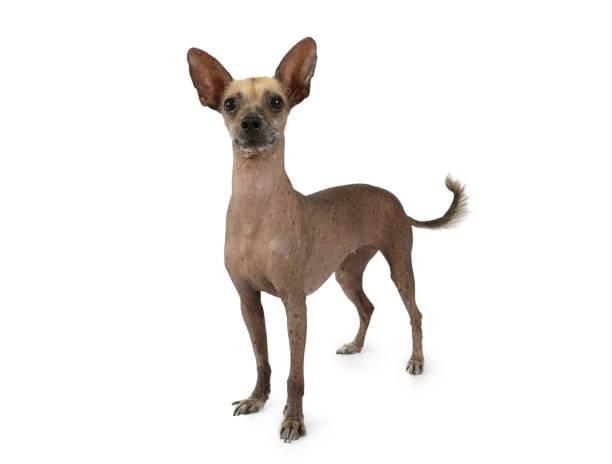 Perro Xoloitzcuintli aislado sobre un fondo blanco - foto de stock