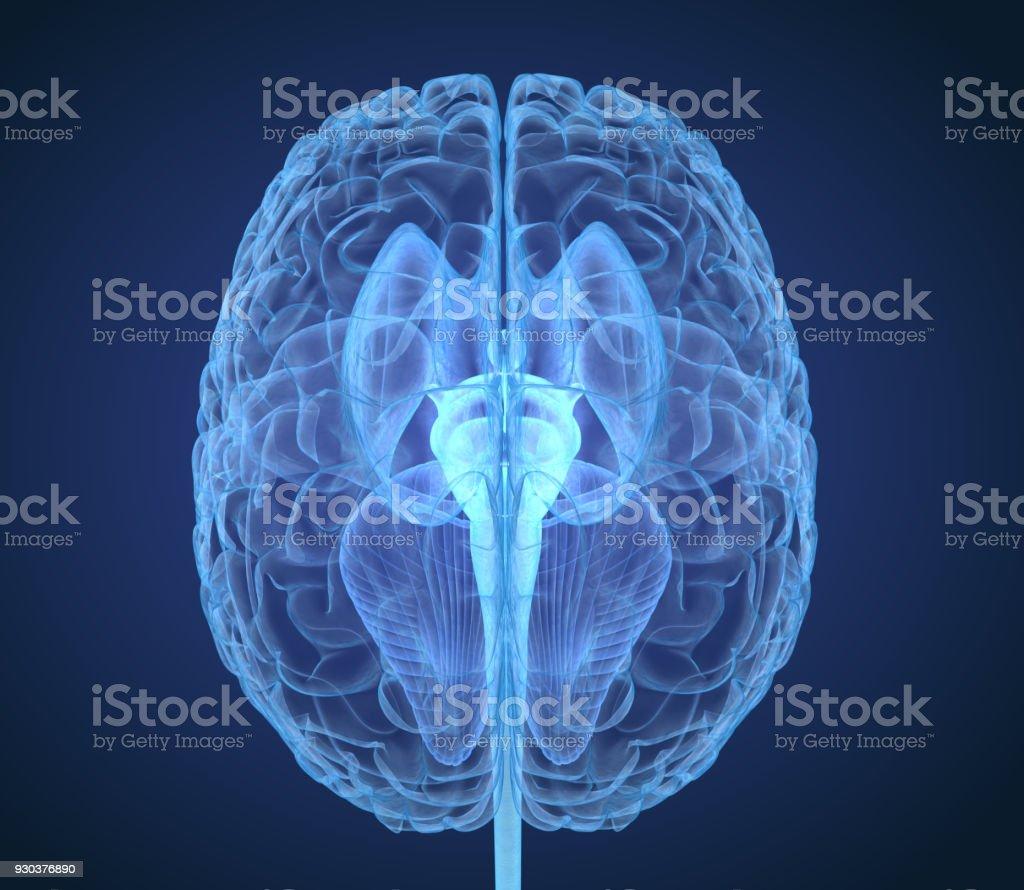 Anatomía Del Cerebro De Rayos Con Estructura Interna