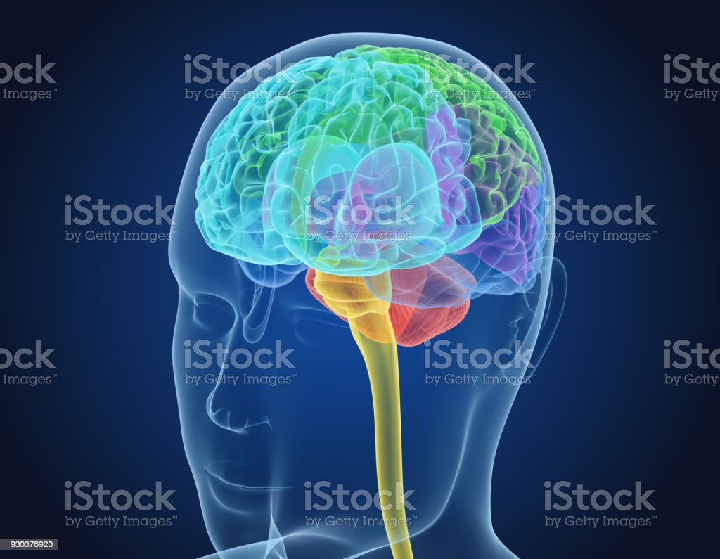 Xray Brain anatomy with inner structure, Medically accurate 3D illustration stock photo