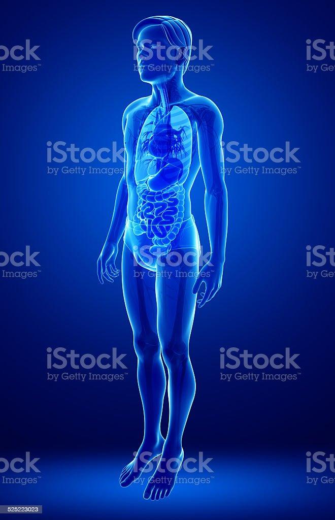 Xray Verdauungssystem Der Männliche Körper Illustrationen Stock ...