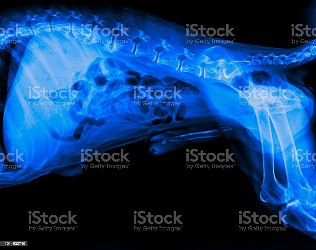 Fotografía de La Radiografía De Película De Vista Lateral Perro ...