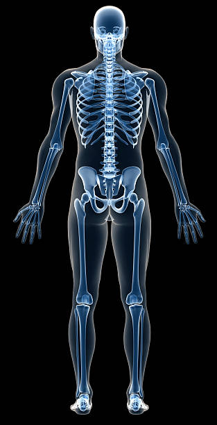 x-ray human body of a man with skeleton for study - human skeleton stock photos and pictures