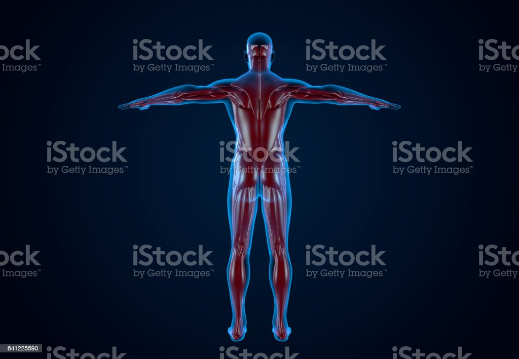 X-Ray Human Musculature vector art illustration