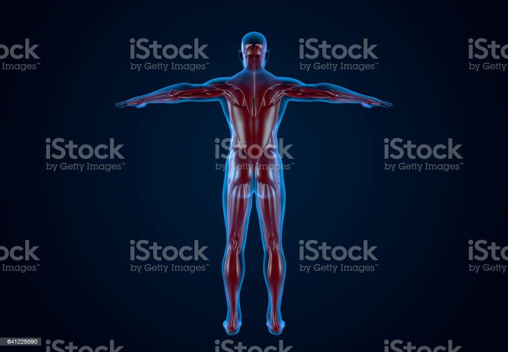 X-Ray Human Musculature stock photo