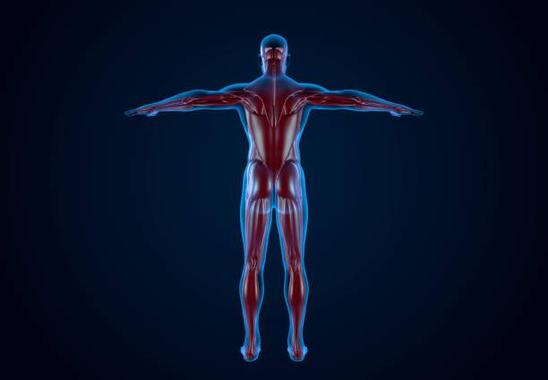 Menschlicher Muskel - Bilder und Stockfotos - iStock
