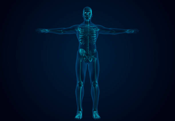x-ray human skeletal system - human body 3d stock photos and pictures