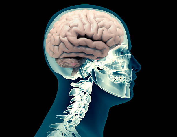 x-ray Human skeleton with brain x-ray Human skeleton with brain isolated on black auditory cortex stock pictures, royalty-free photos & images