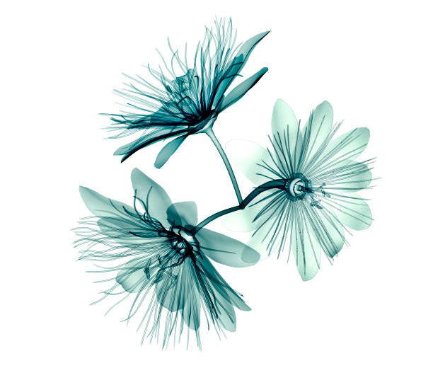 x-ray image flower isolated  , passion flower - macchina per radiografie foto e immagini stock