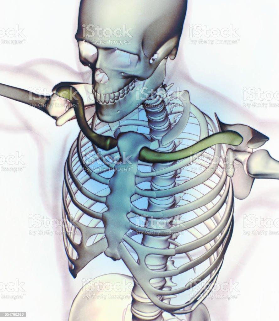 Foto De Imagem De Raiox Tronco De Anatomia Humana Estrutura