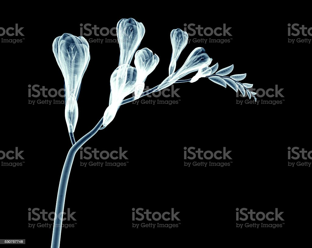 x-ray image of a flower isolated on black , the freesia stock photo