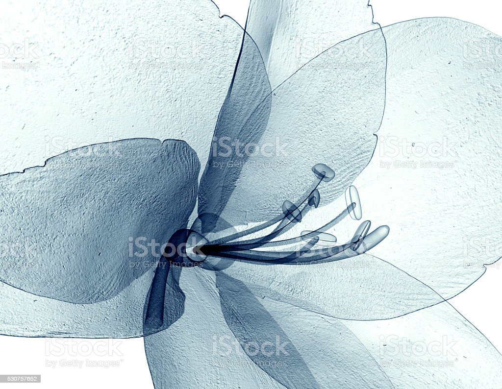 x-ray image of a flower isolated on white , the Amaryllis stock photo