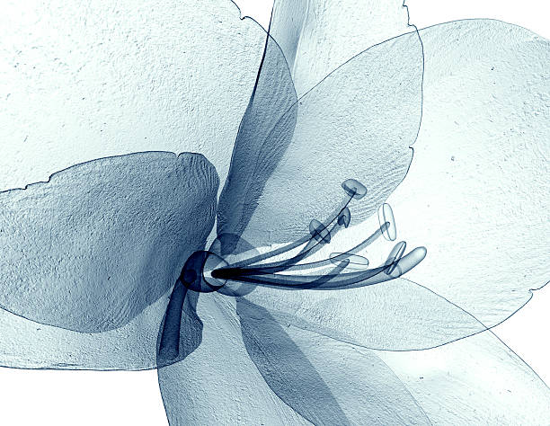 x-ray image of a flower isolated on white , the amaryllis - 罌粟 植物 個照片及圖片檔