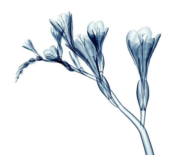 x-ray Bilder von einer Blume, isoliert auf weiss, der Freesia – Foto