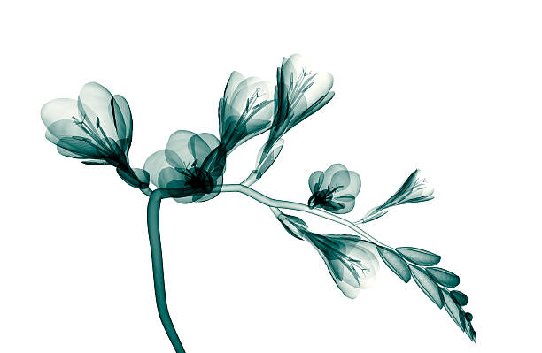 imagem de raios x de uma flor isolada no branco, o freesia - papoula planta - fotografias e filmes do acervo