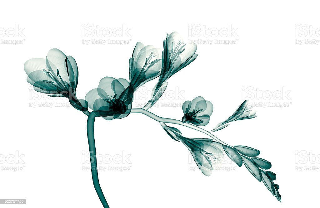 x-ray image of a flower isolated on white , the Freesia stock photo
