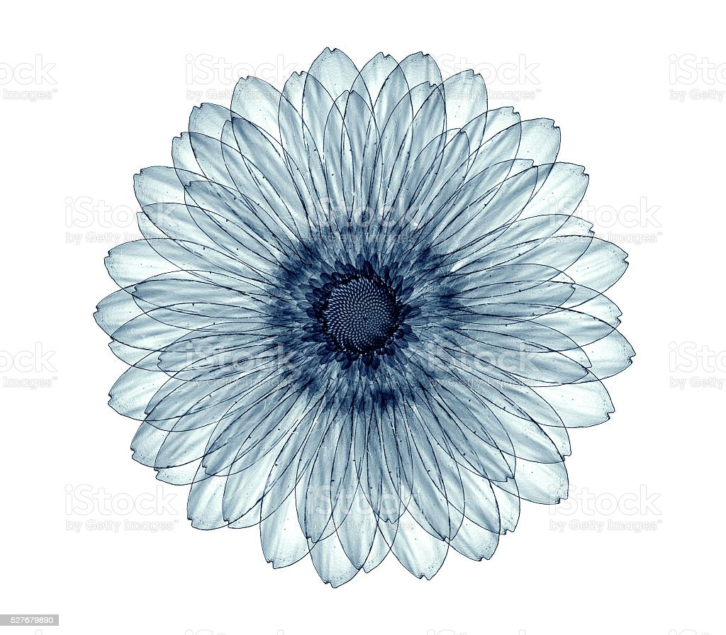 x-ray image of a flower isolated on white , the gebera stock photo