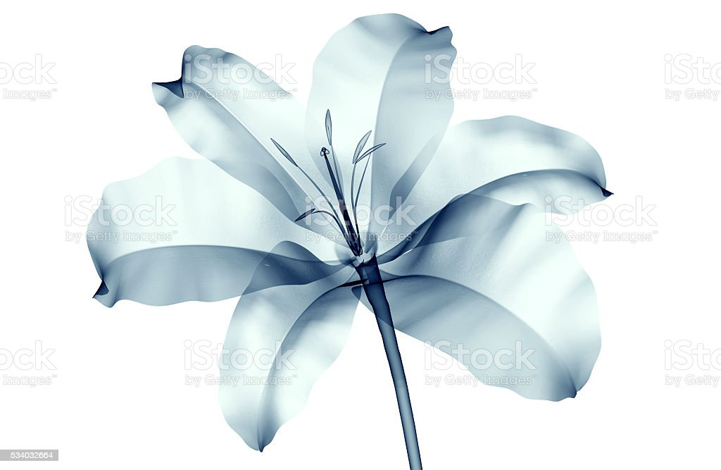 x-ray image of a flower isolated on white , the lilly stock photo