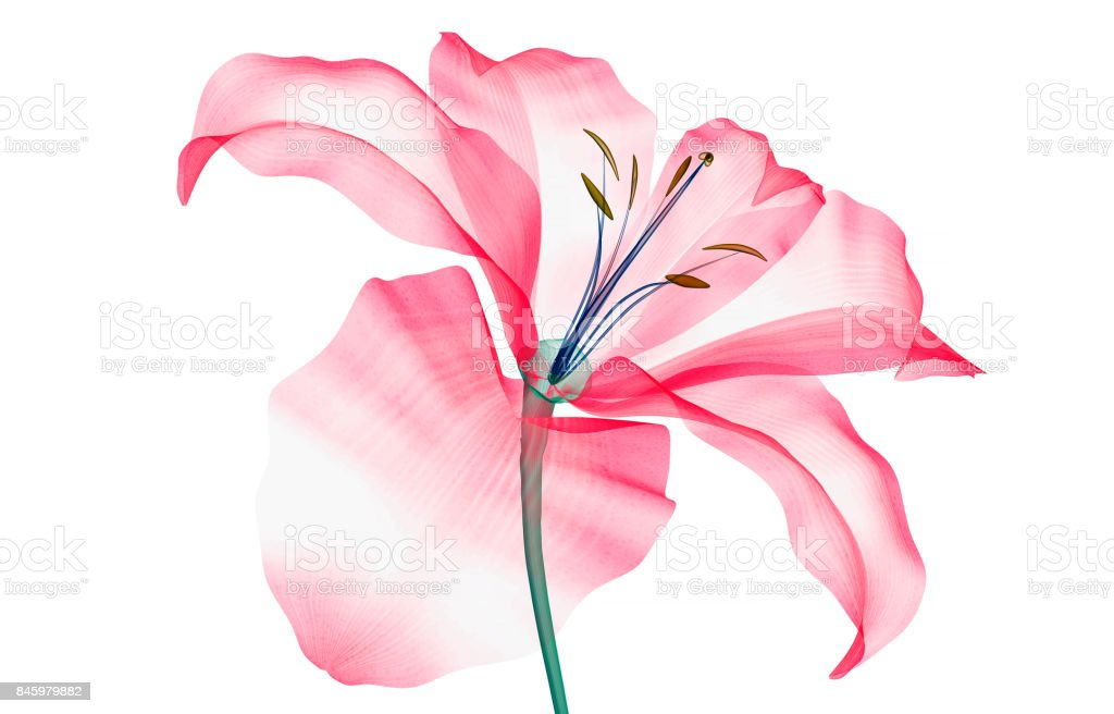 x-ray image of a flower isolated on white , the Lily stock photo