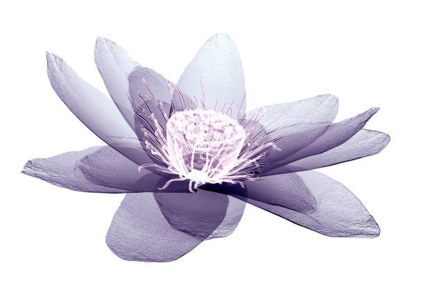 Xray image of a flower isolated on white the lotus 3d illustration picture id1132522539?b=1&k=6&m=1132522539&s=612x612&w=0&h=eopvl2znomrntyjscghh0ohgy5bejo0dpifjsl1 b8w=
