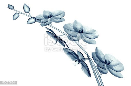 x-ray image of a flower  isolated on white , the orchide  3d illustration