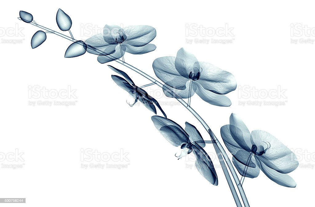 x-ray image of a flower isolated on white , the orchide stock photo