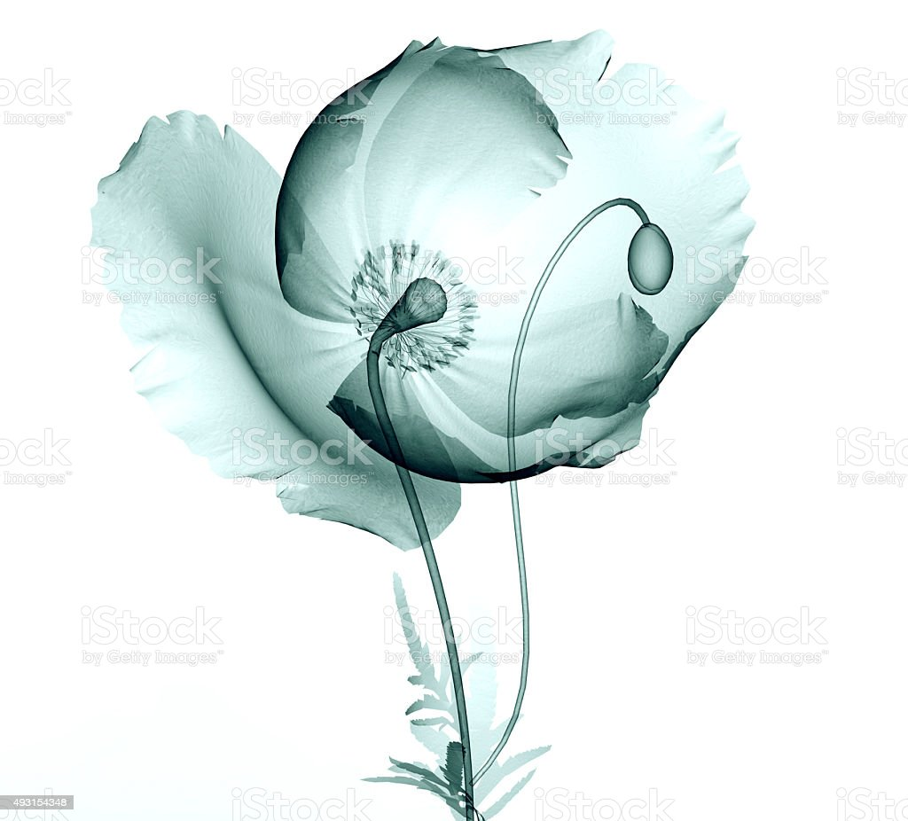 Xray Image Of A Flower Isolated On White The Poppy Stock Photo