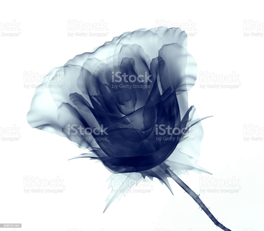 x-ray image of a flower isolated on white , the rose stock photo