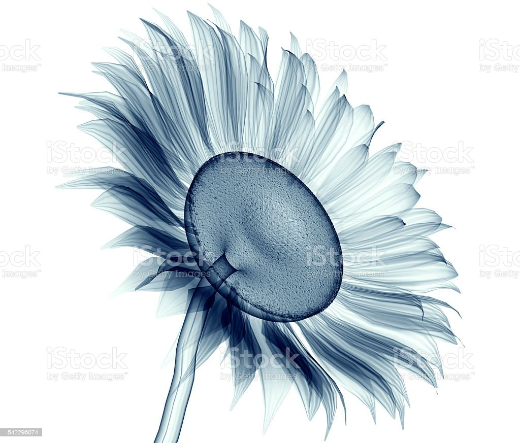 x-ray image of a flower isolated on white , the sunflower stock photo