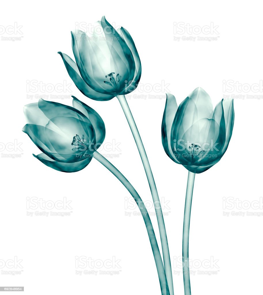 x-ray image of a flower isolated on white , the tulip stock photo
