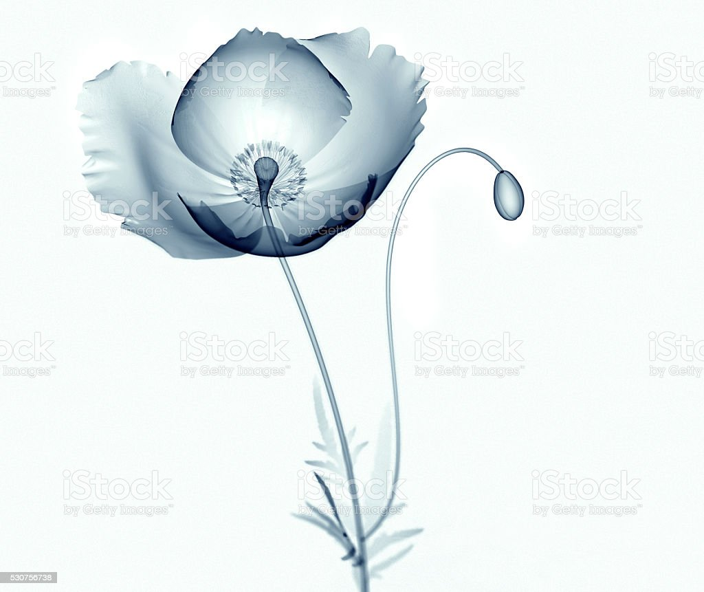 x-ray Bilder von Blumen isoliert auf weiss, das african Mohn – Foto