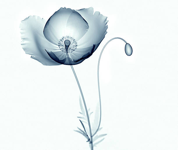 x-ray image of flower isolated on white , the poppy papaver - 罌粟 植物 個照片及圖片檔