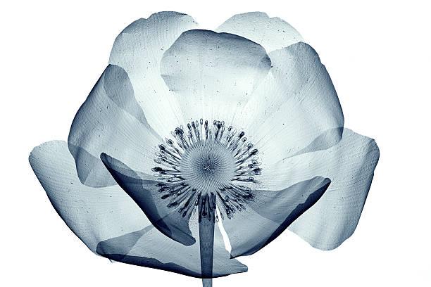 imagem de raios x de flor isolada no branco, a papaver dahlianum - papoula planta - fotografias e filmes do acervo