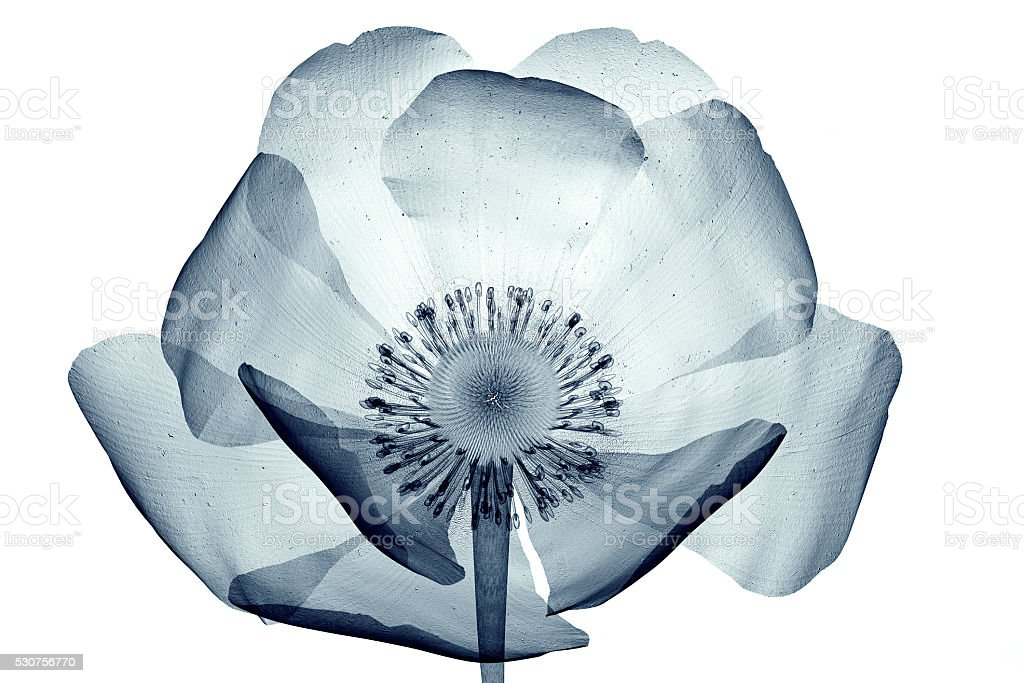 x-ray image of flower isolated on white , the poppy Papaver stock photo