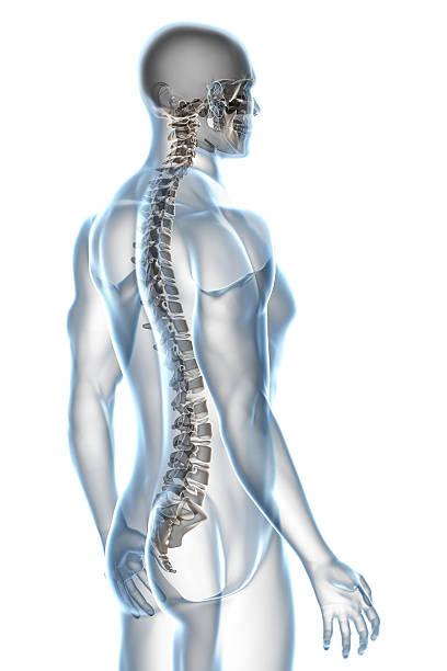 X-ray Male Anatomy on White Background stock photo