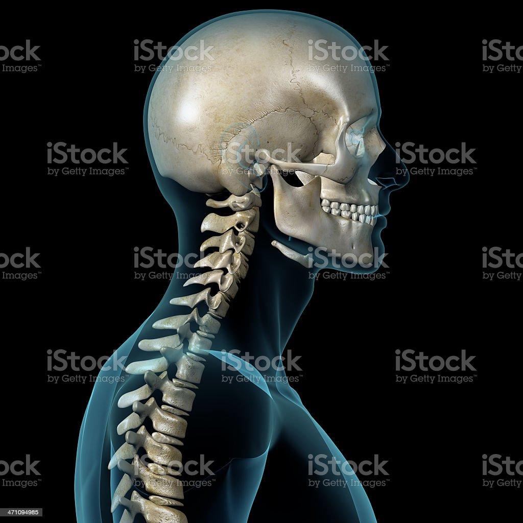 Neck x ray anatomy
