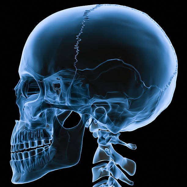 X-ray skull side view Digital medical illustration: X-ray human skull lateral (orthogonal) view. Anatomically correct.  human skull stock pictures, royalty-free photos & images