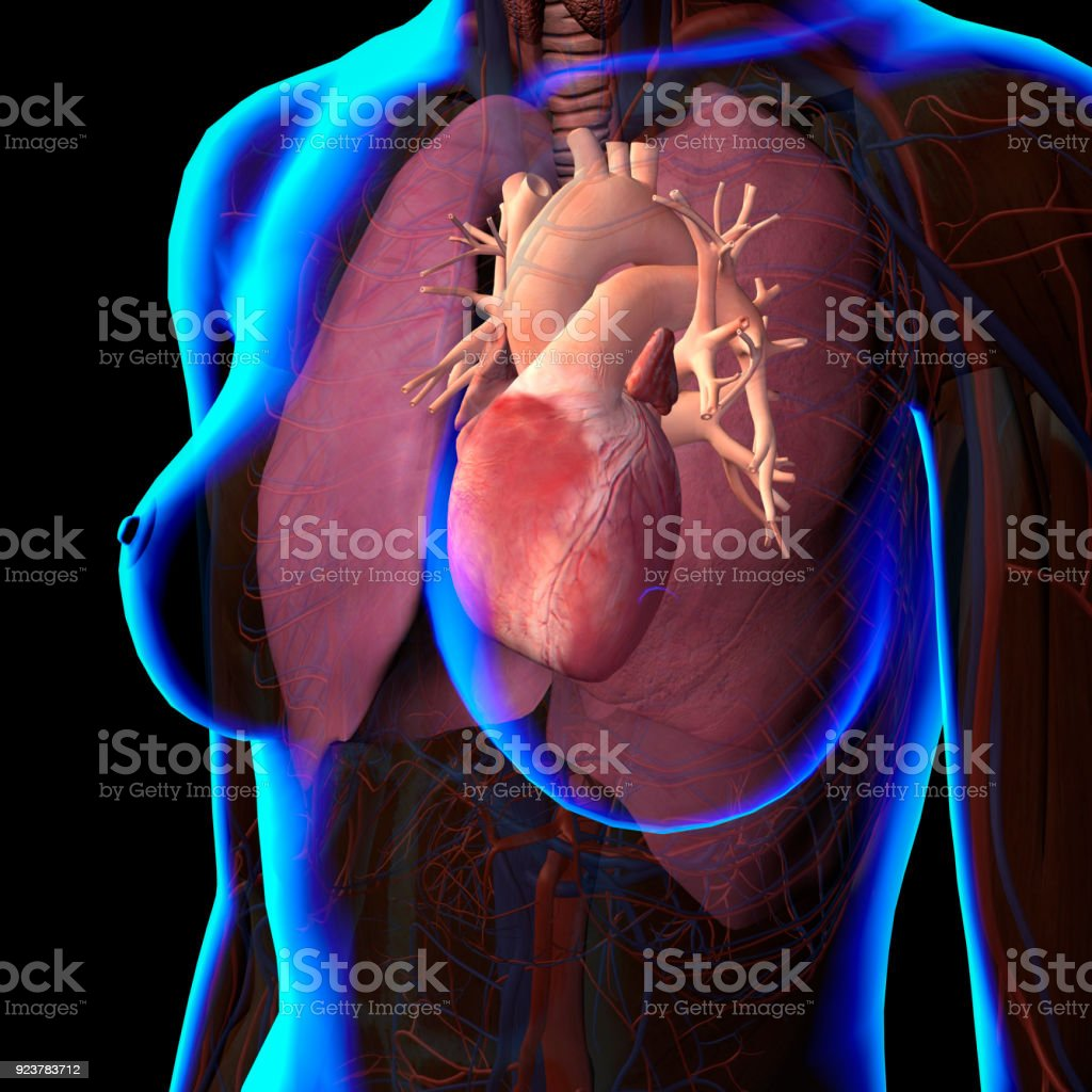 Xray View Of Female Chest Heart And Lungs Anatomy Stock Photo & More ...