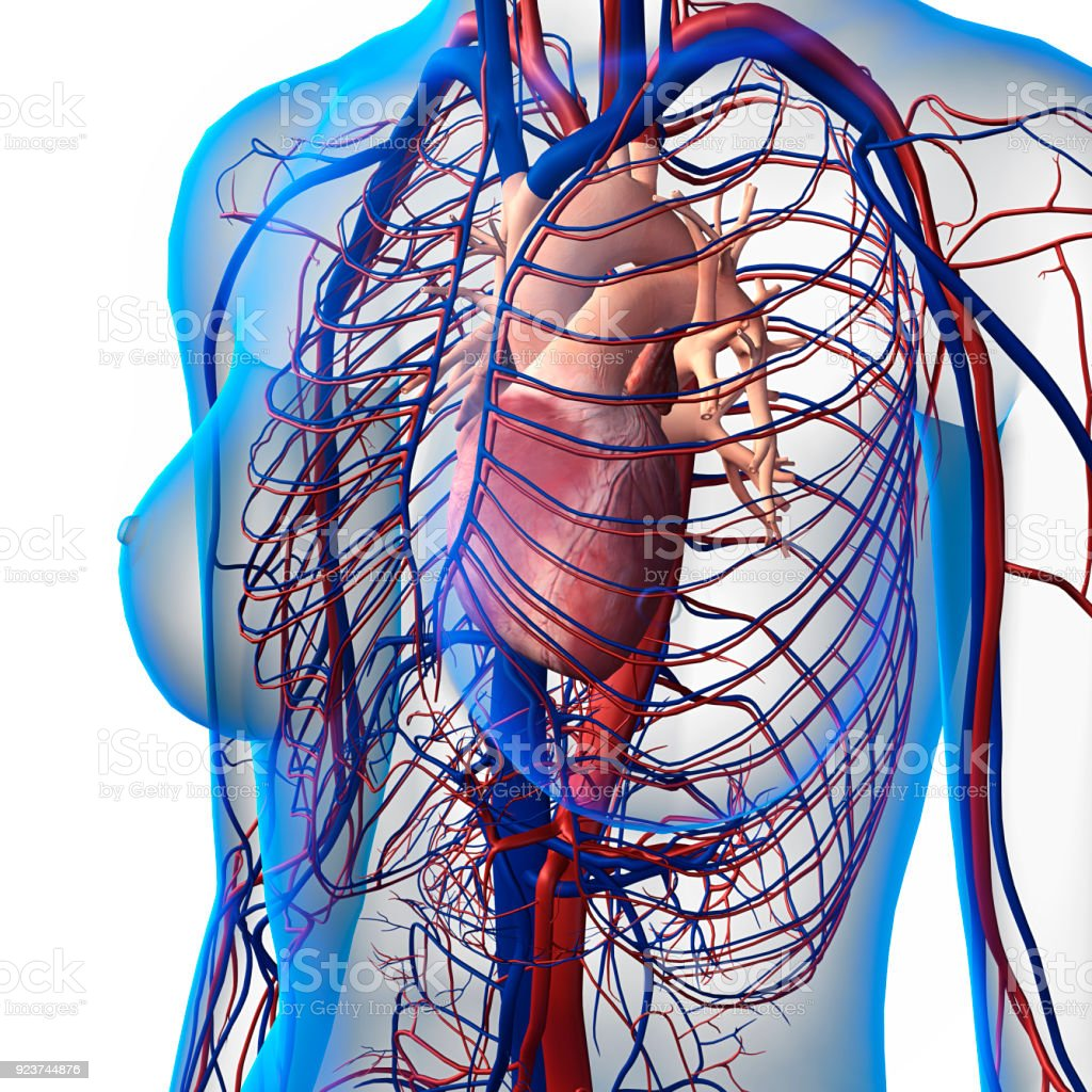 Xray View Of Female Chest Heart Arteries Veins Anatomy Stock Photo