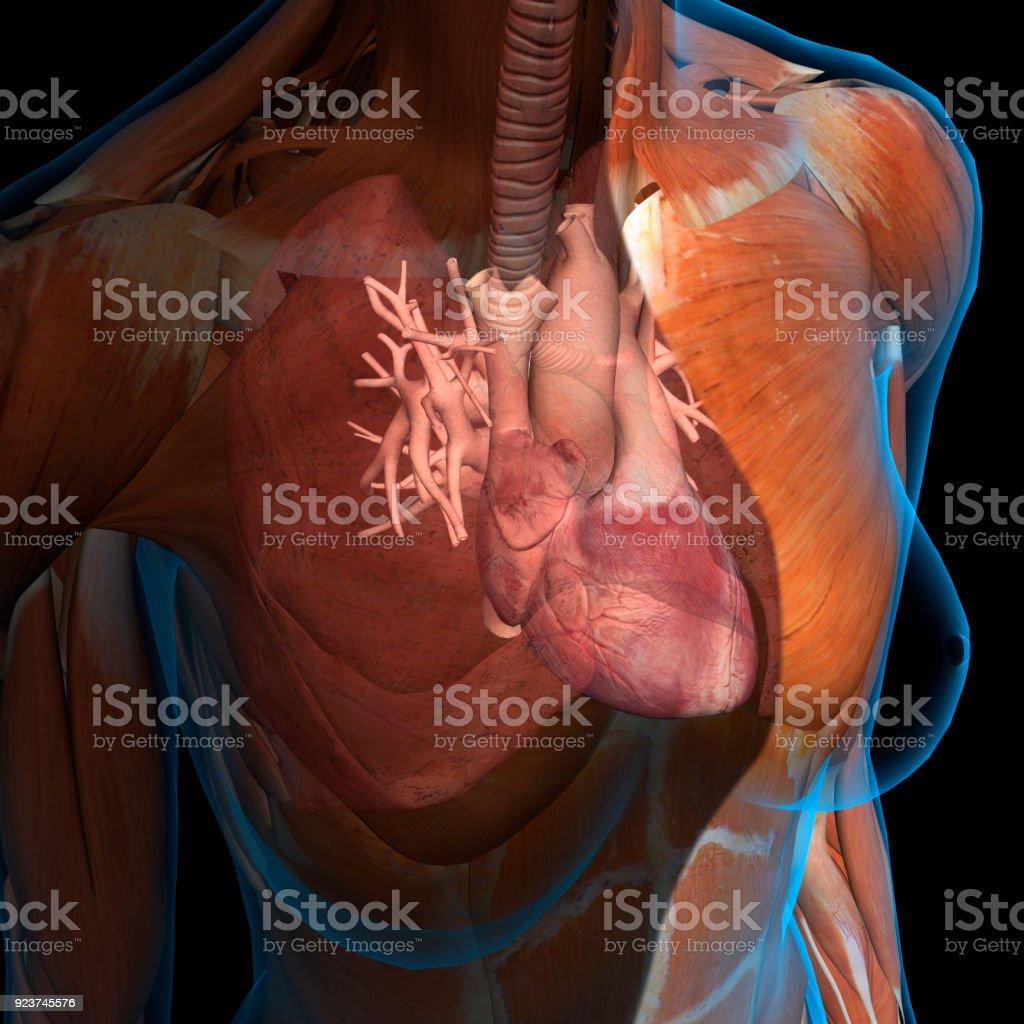 Xray View Of Female Chest Heart Arteries Veins Anatomy Stock Photo ...