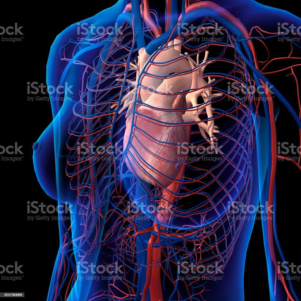 Röntgenansicht Der Weiblichen Brust Herz Arterien Venenanatomie ...