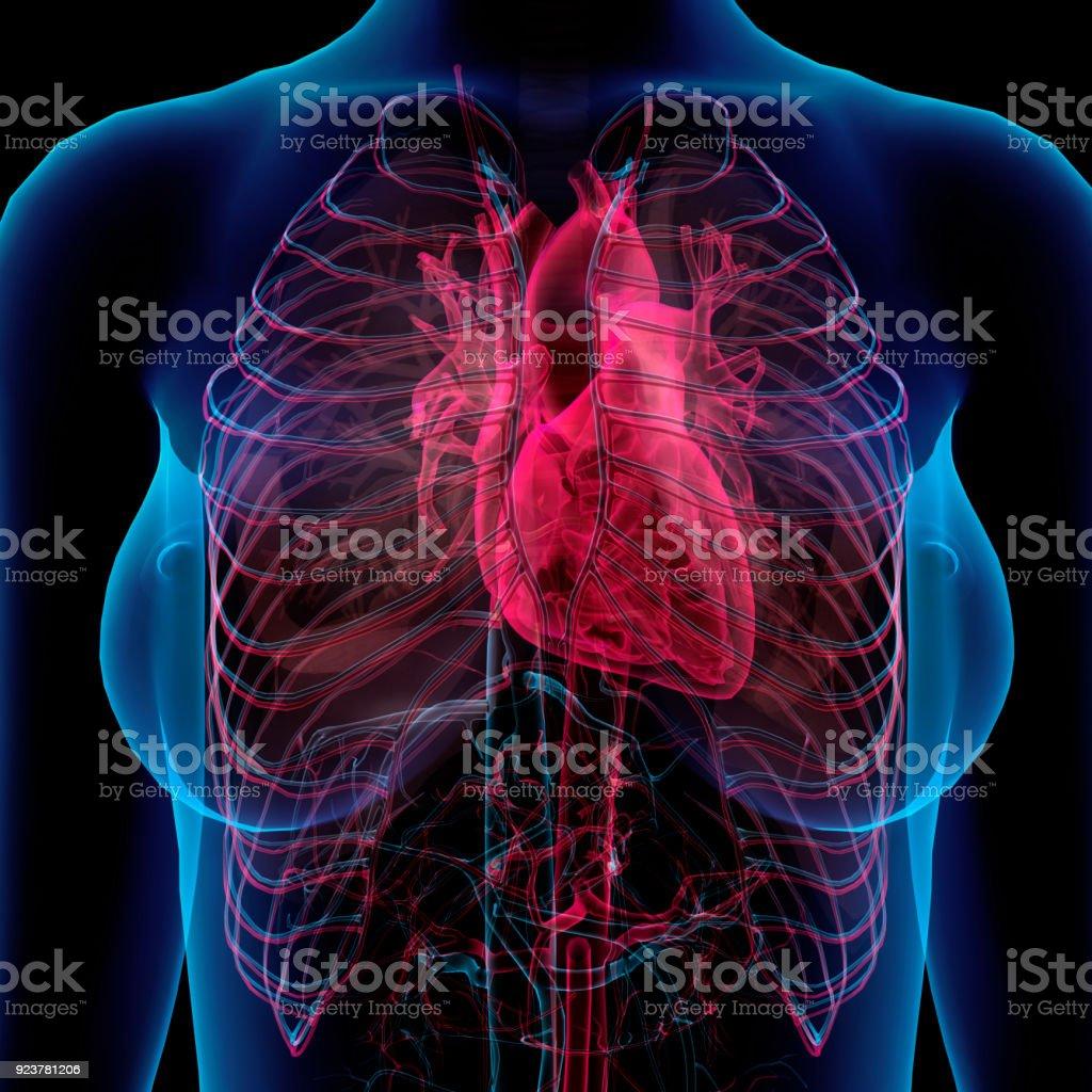 Fotografía de Vista Del Pecho Femenino Corazón Arterias Venas ...