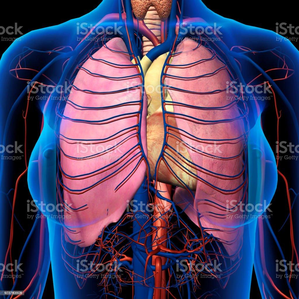 Röntgenblick Der Weiblichen Brust Lunge Herz Arterien Venenanatomie ...