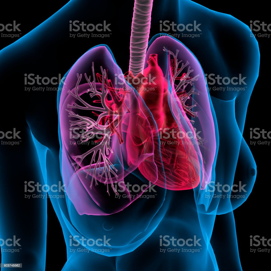 Xray View Of Female Chest Lungs Heart Bronchial Tree Anatomy Stock ...
