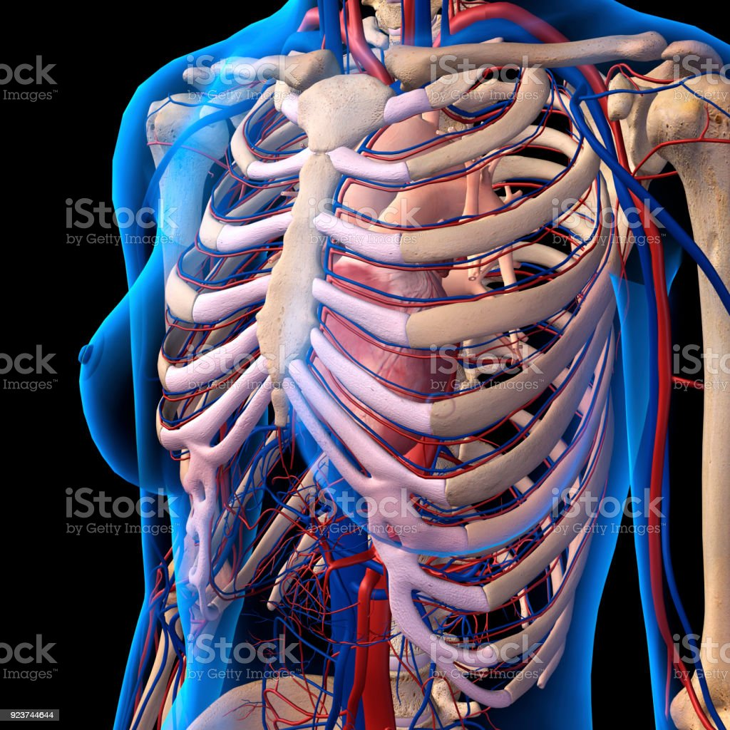 Xray View Of Female Chest Rib Cage Heart Arteries Veins Anatomy