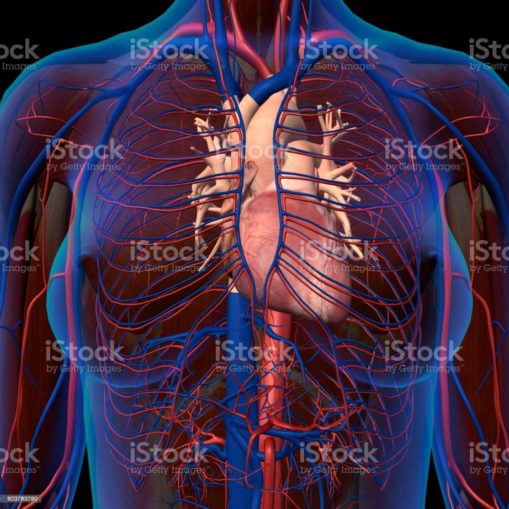 Röntgenblick Der Weiblichen Brust Mit Isolierte Anatomische Herz ...