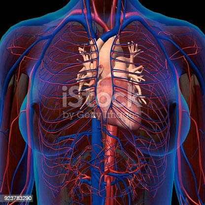 Xray View Of Female Chest With Isolated Anatomical Heart Arteries ...