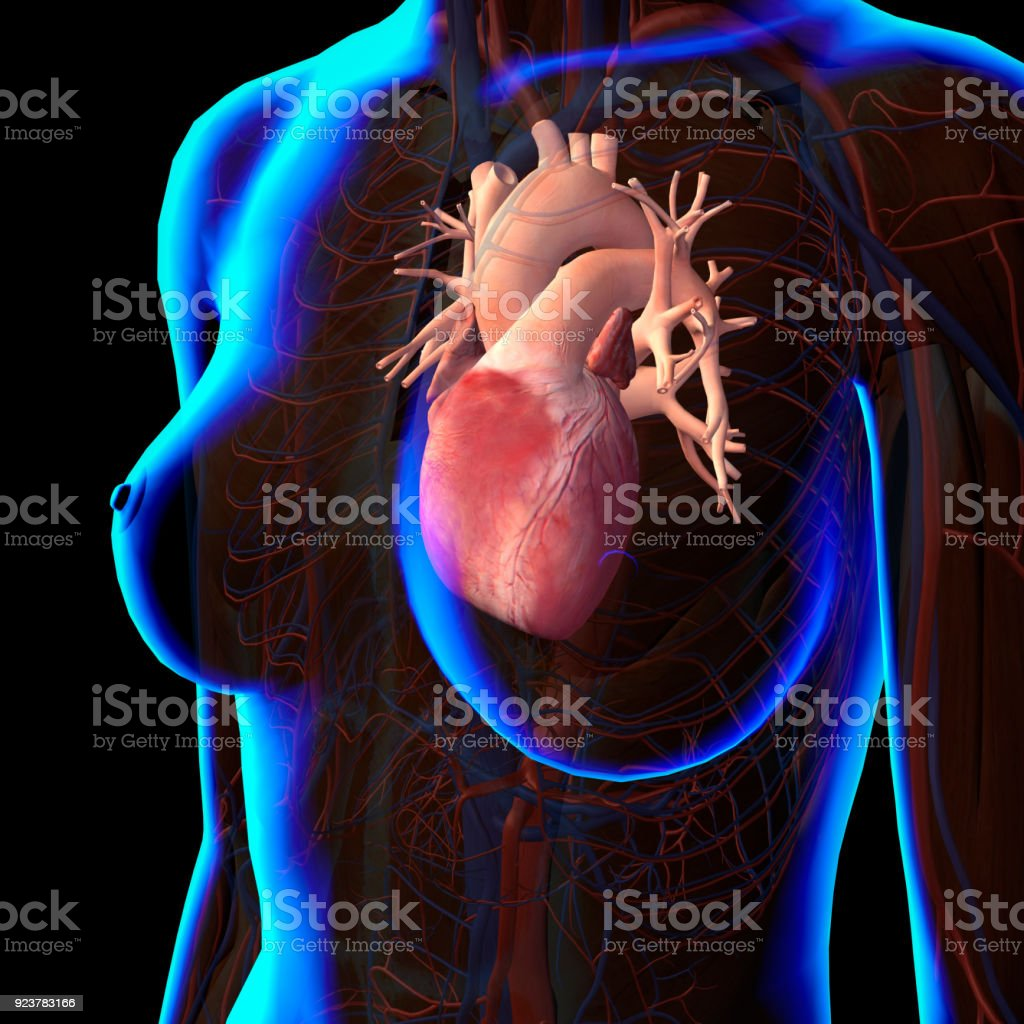 Xray View Of Female Chest With Isolated Anatomical Heart Stock Photo ...