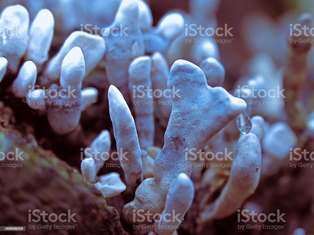Xylaria hypoxylon, Candle-Snuff Fungus, Carbon Antlers stock photo